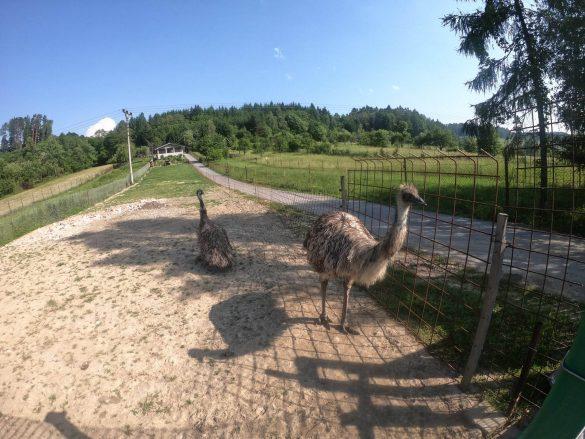 Pštrosy strážia pozemok