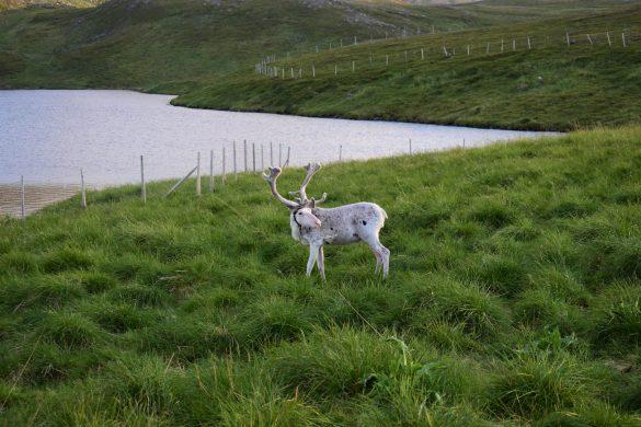 biely sob na Nordkappe, Nórsko